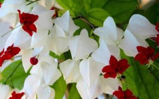 Клеродендрум томпсона как заставить цвести