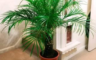 Пальма финиковая уход в домашних условиях