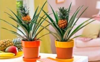 Комнатное растение ананас уход