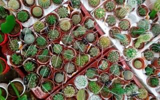 Мини кактусы