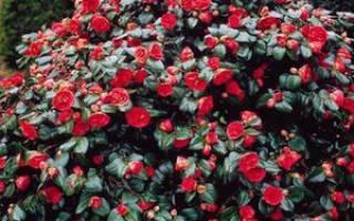 Как выглядит цветок камелия