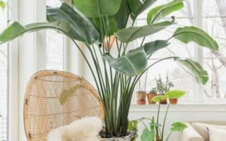 Комнатные растения с крупными листьями
