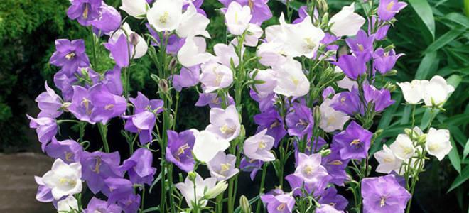 Садовые цветы колокольчики