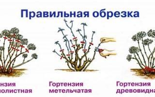 Как подготовить гортензию к зиме