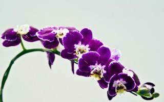 Фиолетовый фаленопсис