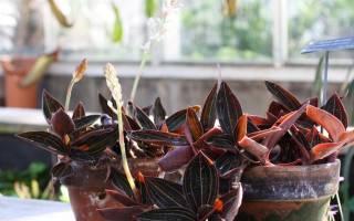 Орхидея лудизия уход в домашних условиях