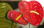 Комнатные цветы мужское счастье