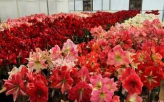 Цветы комнатные гиппеаструм