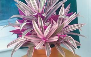 Рэо растение