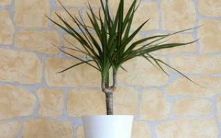 Домашняя пальма драцена