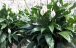 Растение спатифиллум женское счастье