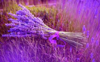 Цветы лаванда