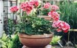 Вечно цветущие домашние цветы