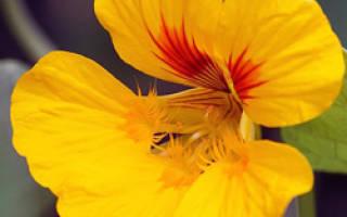 Девичья красота цветок