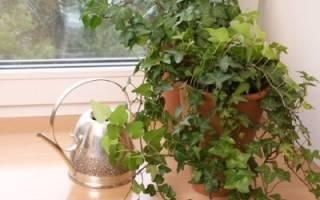 Растение хедера