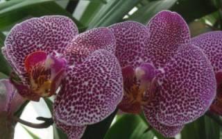 Гниют корни у орхидеи фаленопсис что делать