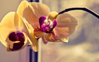 Что делать если орхидея вянет