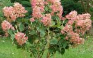 Pink diamond гортензия метельчатая