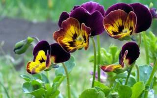 Анютины глазки цветок