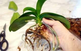 В какой горшок пересадить орхидею