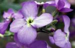 Левкои цветы