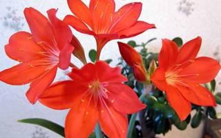 Комнатное растение валотта