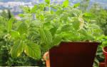 Как выращивать мяту