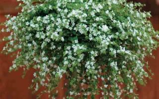 Домашние цветы висячие
