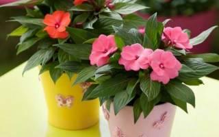 Комнатный цветок бальзамин