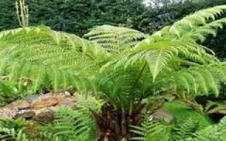Папоротниковые растения