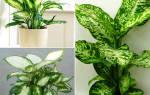 Почему у диффенбахии скручиваются листья