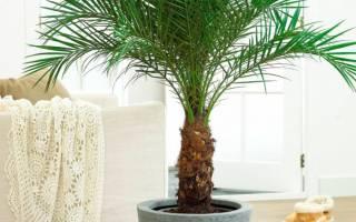 Пальма в домашних условиях