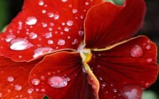 Красный комнатный цветок