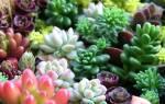 Суккуленты из семян в домашних условиях