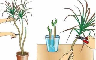 Как размножить драцену черенками