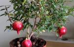 Гранат из семян в домашних условиях