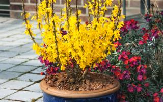 Куст с желтыми цветами форзиция