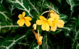 Цветок кроссандра уход