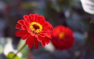 Циния выращивание из семян