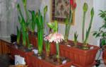 Гиппеаструм как заставить цвести
