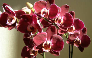 Красная орхидея