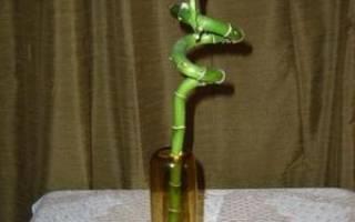 Бамбук комнатное растение уход размножение