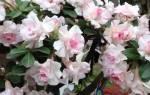 Цветок адениум
