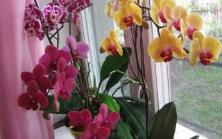 Уход за орхидеей фаленопсис