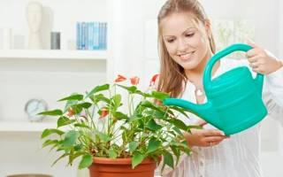 Как поливать антуриум в домашних условиях