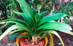 Кливия почему не цветет