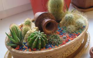 Как садить кактус