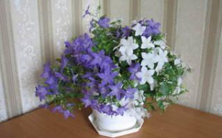 Невеста цветок уход