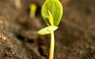 Как вырастить дерево из косточки