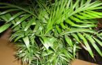 Тростниковая пальма